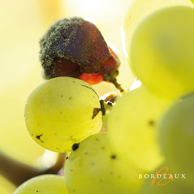 Botrytis Cinerea noble rot