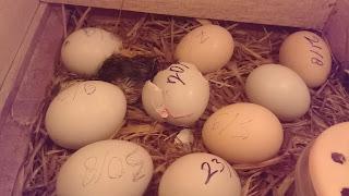 Faktor penyebab telur gagal menetas masa penetasan