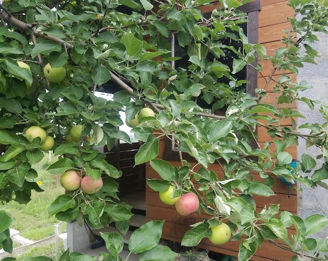 мои 92 дня лета, яблок много...