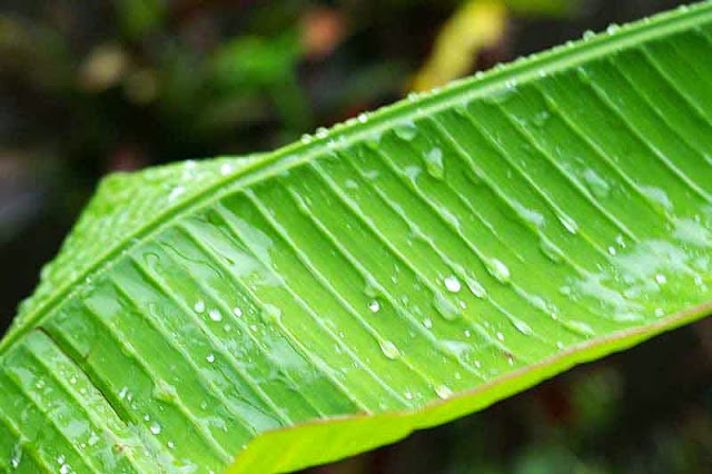 banana leaf in rain