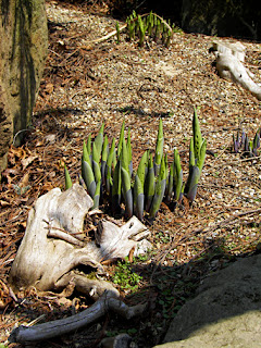 Hosta emerging in spring