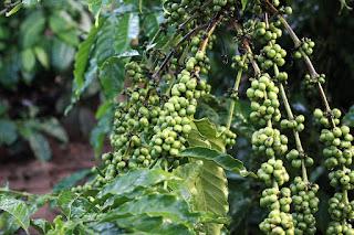 gambar kopi berbuah lebat