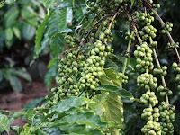 Tanaman KOPI: Cara Mudah Menanam Dan Merawat Pohon Kopi Agar Berbuah Lebat Dengan Hasil Panen Yang Melimpah
