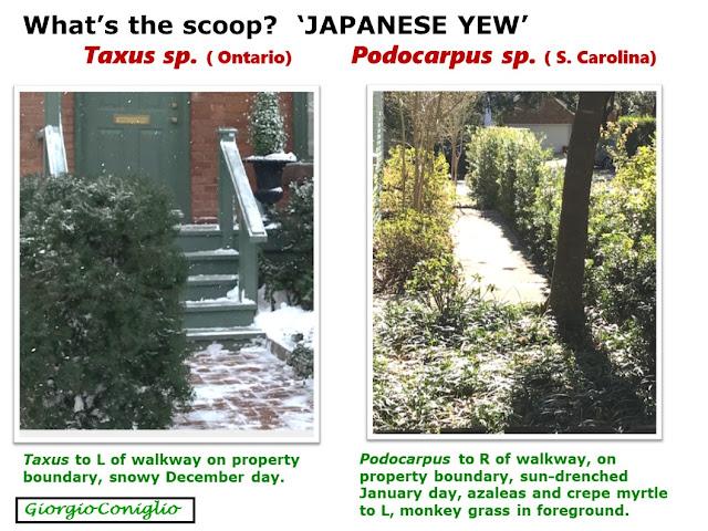 garden; shrub; Taxus spp.; Podocarpus spp.; Giorgio Coniglio