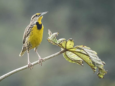 Photo of Eastern Meadowlark on twig