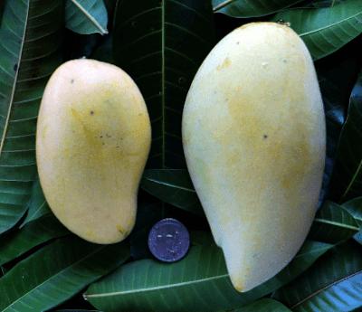 Mangga Nam Dok Mai