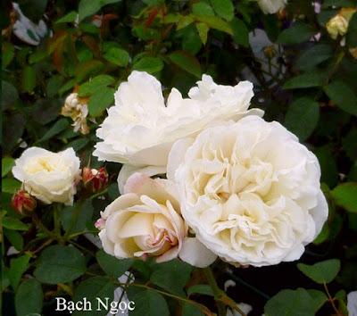 hoa hồng bạch ngọc