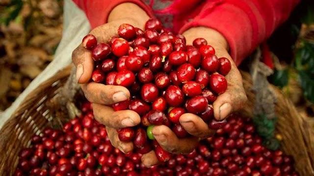 Giá cà phê hôm nay 18/8: Giá thu mua dao động trong khoảng 36.800 - 39.200 đồng/kg