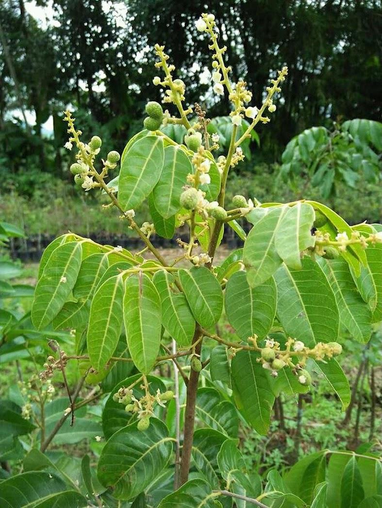 Bibit tanaman buah 5 jenis kLengkeng k diamond k merah k matalada k aroma durian k kristal Aceh