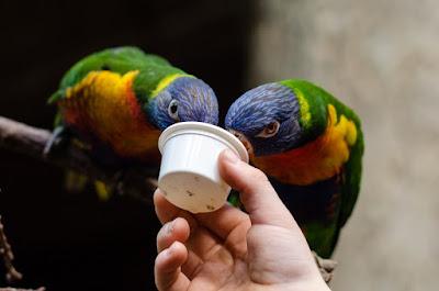 informasi bisnis, usaha ternak lovebird, peluang usaha ternak lovebird, usaha ternak burung lovebird, usaha ternak lovebird koloni, usaha ternak lovebird 2017,