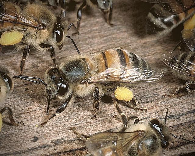 Killer Bees random facts