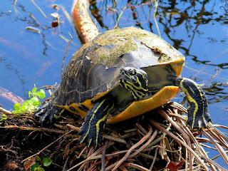 merawat-kura-kura-red-belly.jpg