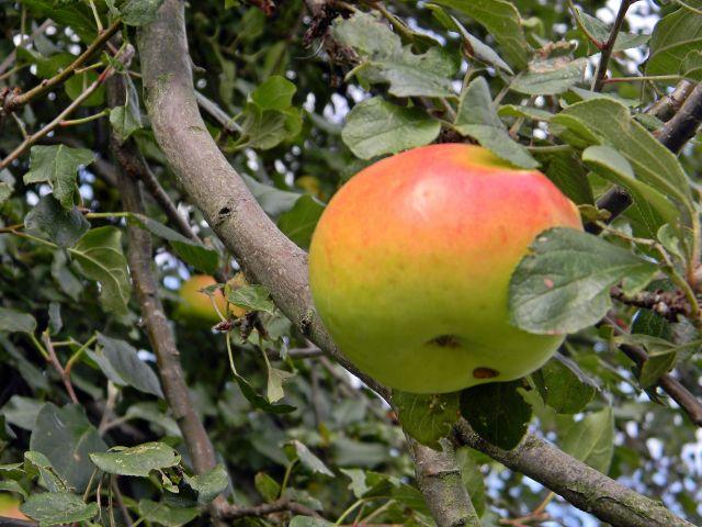 jabłka, jabłonie, dzika jabłoń