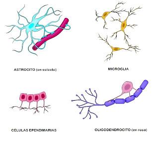 Resultado de imagen de tejido NERVIOSO tipos