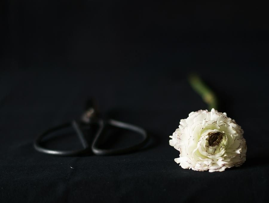 Blog + Fotografie by it's me fim.works - Ranunkel, Schere