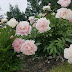 Botanical society plans drive-through peony fundraiser