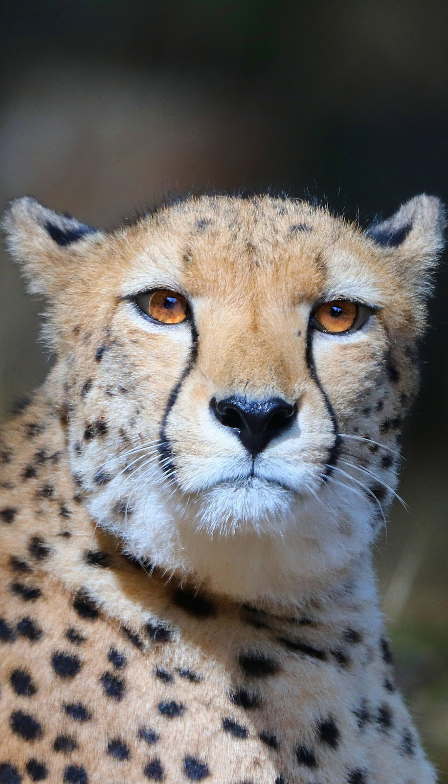Cheetah portrait.