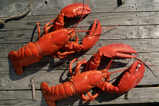 Live Lobsters Pictures 86