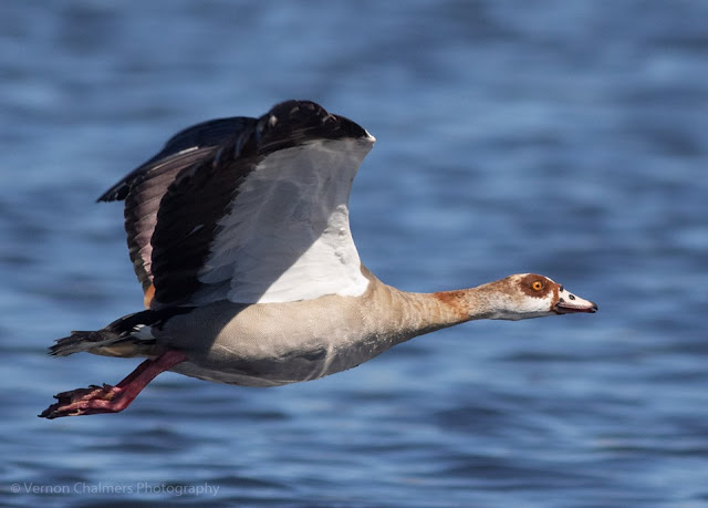 Canon EOS 7D Mark II Autofocus Consistency Testing : Egyptian Goose in Flight 10