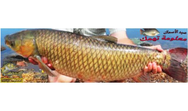 سمكة المبروكة - سمكة الشبوط - سمكة الكارب