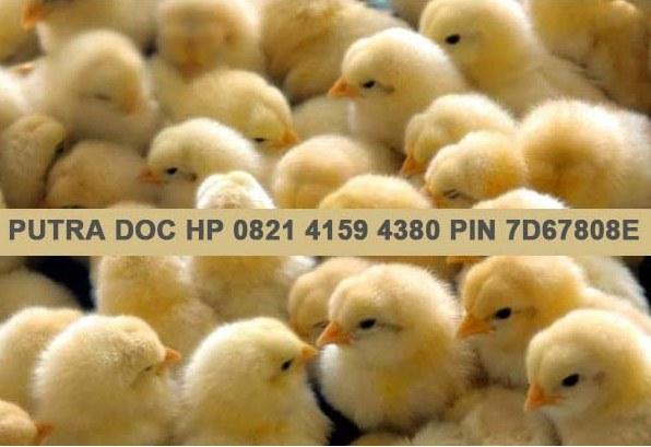 Jual DOC Bibit Ayam Broiler