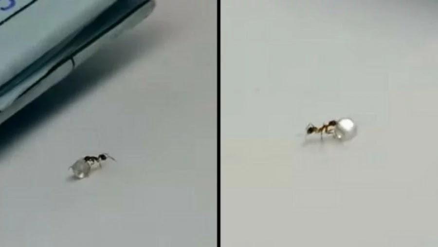 βίντεο: Μυρμήγκι κλέβει διαμάντι από κοσμηματοπωλείο!