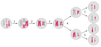 Tetrad formation