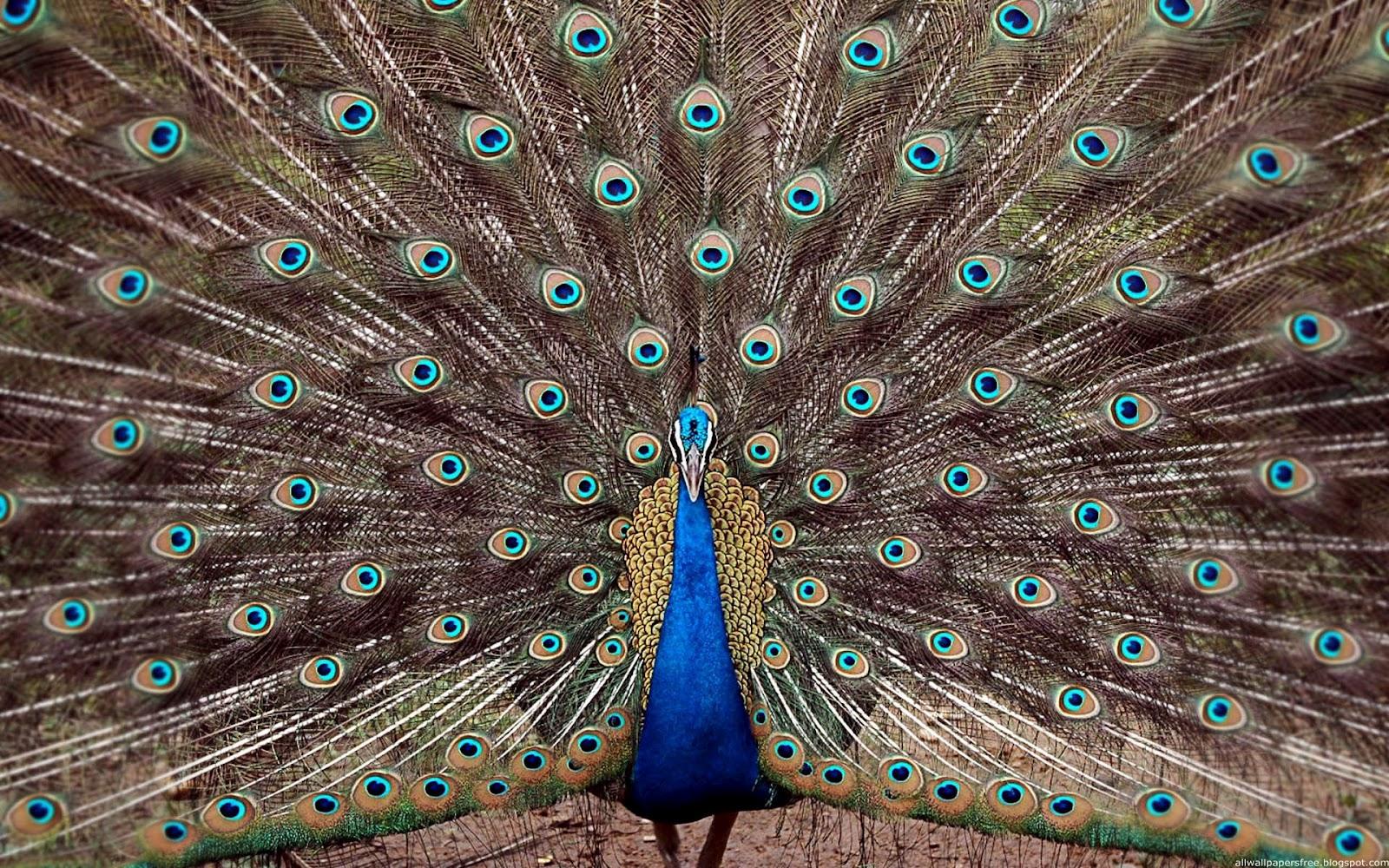 Koleksi Foto Burung  Merak  Tercantik 2013 Gambar  Keren
