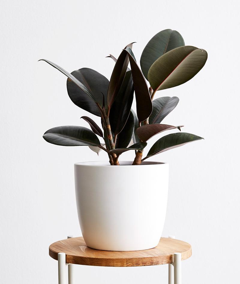 Tanaman Karet (Rubber Plant)