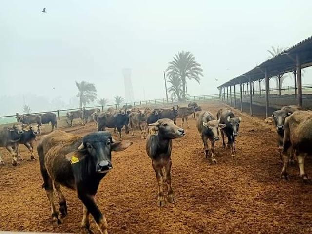 خطة لتطوير مزارع الثروة الحيوانية بأسيوط  وجولة تفقدية  بمزرعة بنى سند