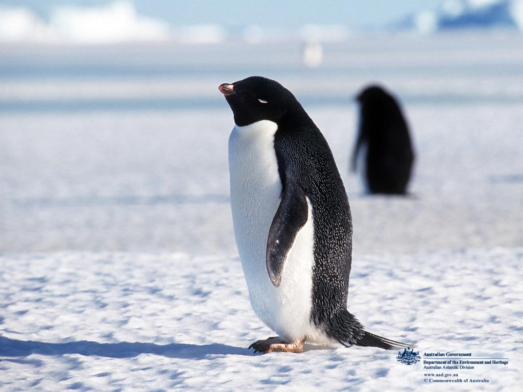 penguin animal fairy penguins animals species antarctica wildlife adelie
