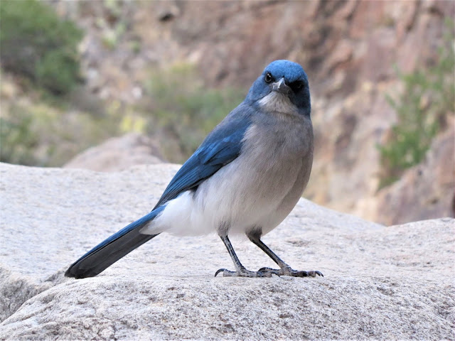 mexican jay big bend national park texas