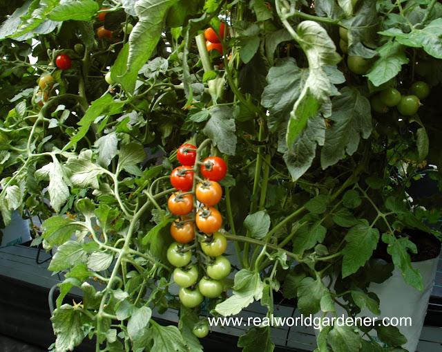 1-cherry%2Btomatoes.JPG