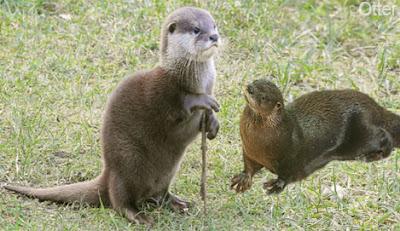 otter, otter wild animal