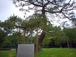 代々木公園 閲兵式の松