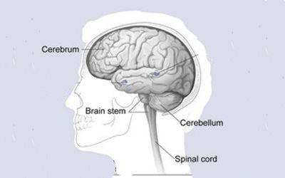 मानव मस्तिष्क के 25+ रोचक  तथ्य और मस्तिष्क की रचना