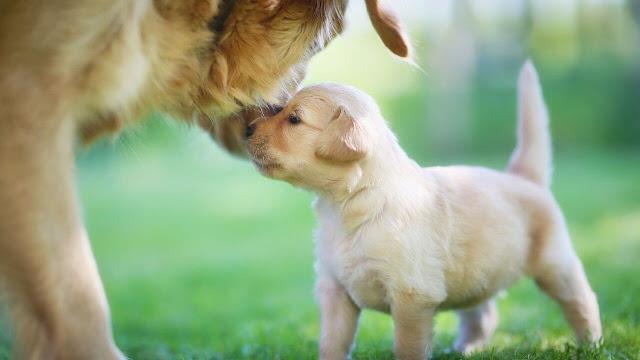 golden retriever pregnancy stages