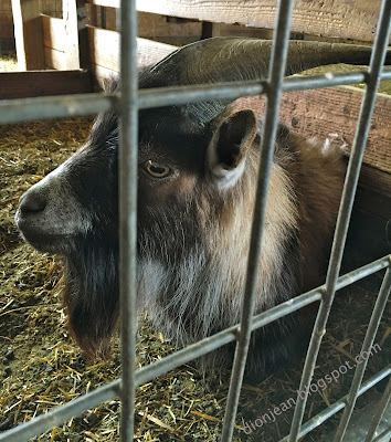 Goat with big horns in his pen