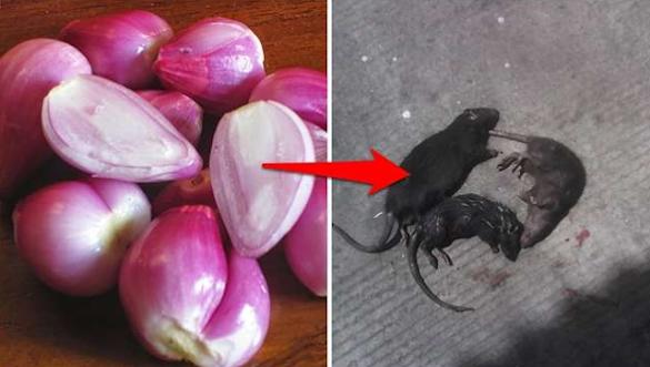 Tikus Berkeliaran di Rumah? Gunakan 5 Cara Alami dan Mudah Ini Untuk Mengusirnya
