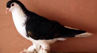 Foto Burung Merpati Lahore Daftar Harga Burung Hias Terbaru