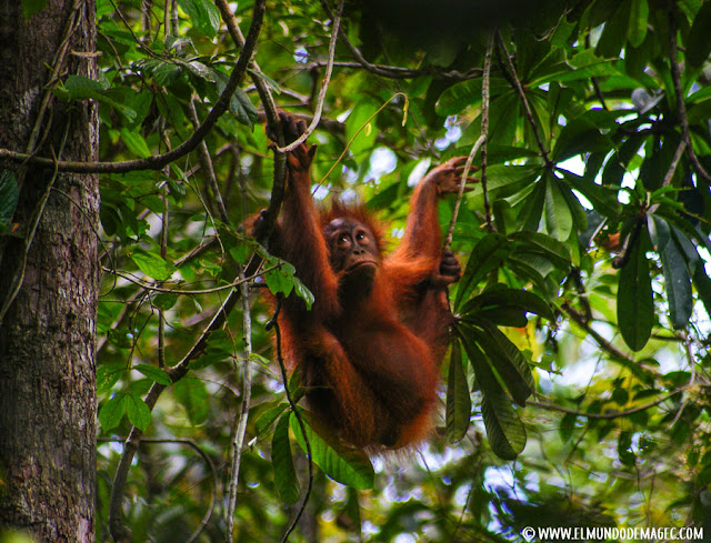 ver-orangutanes-en-borneo-sepilok-orangutan-colgado-de-arbol