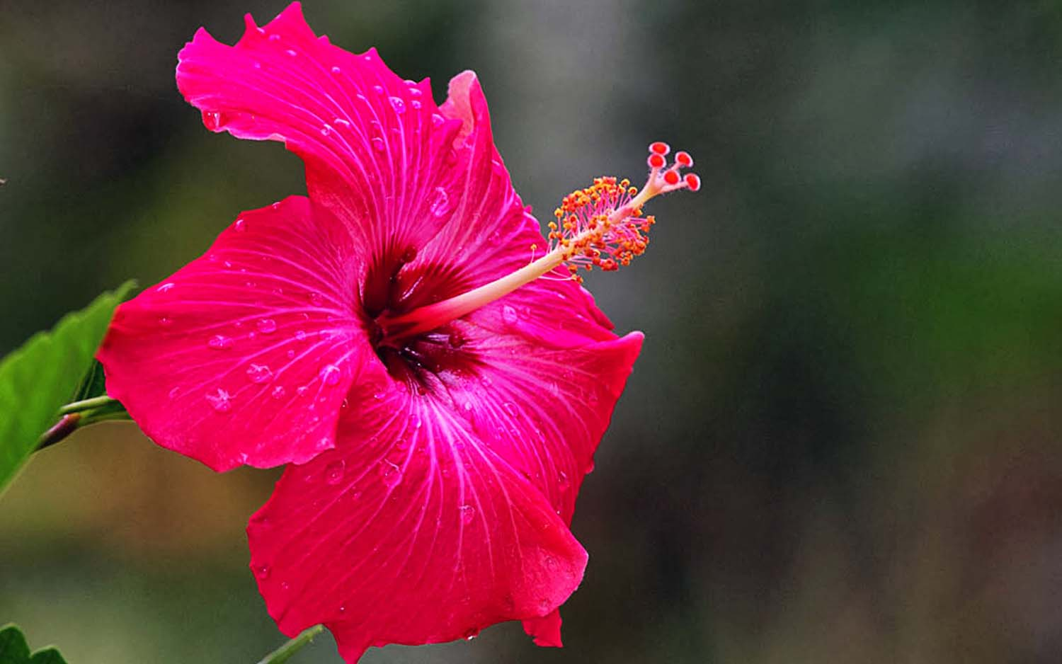 Pink Hibiscus Flower Wallpaper Images Wallpapers Simple Hd