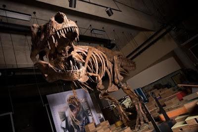 «Scotty», ο μεγαλύτερος τυραννόσαυρος που έχει βρεθεί ποτέ