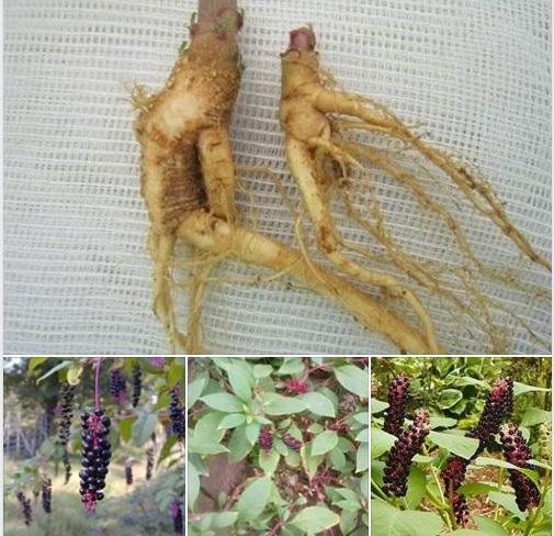 Nhiều  gia đình trồng cây 'Thương Lục' nhầm tưởng là cây 'Sâm Quý'