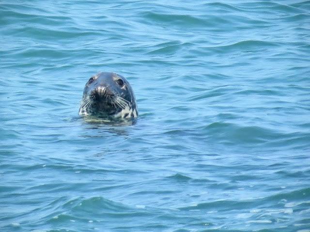 Day trip to Ireland's Eye Island - seal swimming