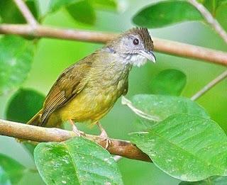 Berbagai Jenis Burung Cucak Yang Hampir Mirip Dengan Cucak Jenggot Terlengkap Dengan Gambarnya