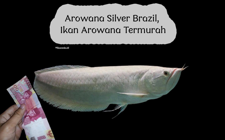 Ikan Arwana Murah