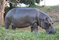 Amazing Facts About Hippopotamus in Hindi
