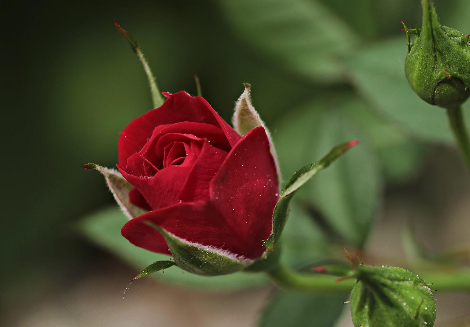 gambar bunga mawar dan maknanya