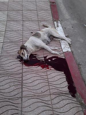 Scandale à Sidi Rahal: des chiens inoffensifs abattus en dépit des instructions de Sa Majesté – images choc